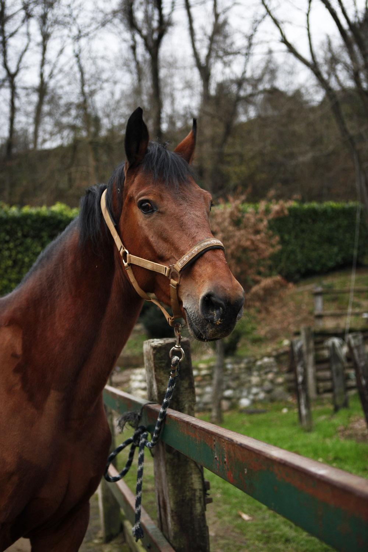 carpe diem hollsteiner horse